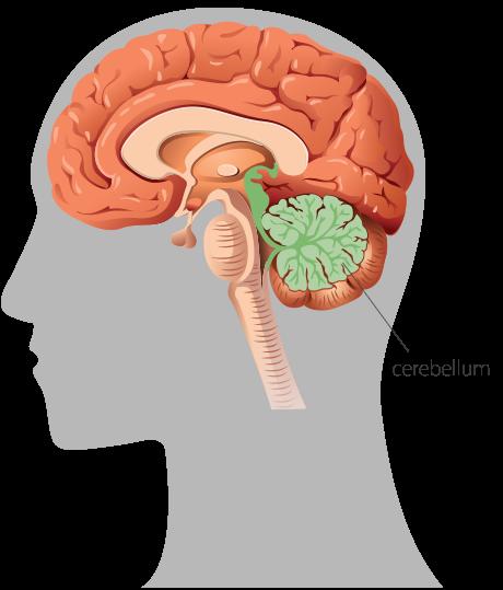 0057-cerebellum-motor-activity-cognitive-ability-bellicon-460x539